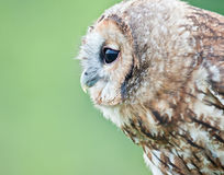 Tawny owl profile. Side portrait of a tawny owl Stock Image