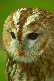 Tawny owl in profile showing facial disc Royalty Free Stock Photos