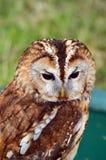 Tawny Owl - rapace - ritratto laterale Immagine Stock Libera da Diritti