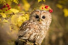 Tawny Owl sammanträde på en filial Arkivfoto