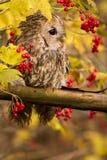 Tawny Owl sammanträde på en filial Arkivbild