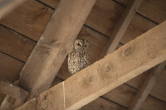 Tawny Owl in Schuur Royalty-vrije Stock Foto