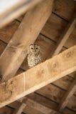 Tawny Owl in Schuur Royalty-vrije Stock Afbeelding
