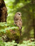 Tawny owl siting on the tree - Strix aluco. Strix aluco - Young bird of brown owl in forest stock image