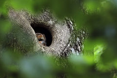 Tawny Owl sits in a old tree hole royalty free stock photo
