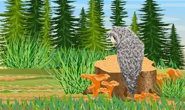 Tawny owl sits on a stump in the forest. Spruce trees and grass, chanterelle mushrooms stock illustration