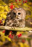 Tawny Owl sitting on a branch stock image
