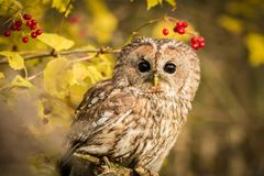 Tawny Owl sitting on a branch. Tawny owl hidden in the forest. Brown owl sitting on tree stump in the dark forest habitat with catch. Beautiful animal in nature Stock Photo