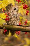 Tawny Owl sitting on a branch. Tawny owl hidden in the forest. Brown owl sitting on tree stump in the dark forest habitat with catch. Beautiful animal in nature Stock Photography