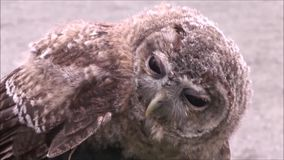 Tawny owl stock video footage