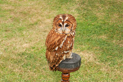 Tawny owl sitting on her stand Stock Photography