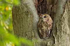 Tawny Owl sitting in a nesting hole in a tree Strix aluco. Tawny Owl black owl sitting in a tree between the leaves royalty free stock photos