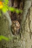 Tawny Owl sitting in a nesting hole in a tree  Strix aluco. Stock Photography