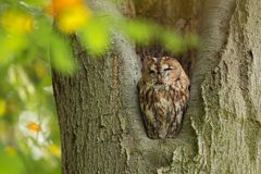 Tawny Owl sitting in a nesting hole in a tree  Strix aluco. Stock Photos