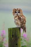 Tawny owl sitting on a post Stock Image