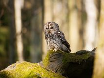 Tawny owl sitting on rock in forest Stock Image