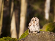 Tawny owl sitting on rock - Strix Aluco. Strix aluco - tawny owl sitting on rock royalty free stock photography