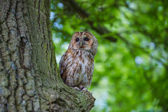Tawny owl. Stock Photography