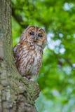 Tawny owl. Royalty Free Stock Photography
