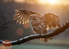 Tawny Owl sitzt auf Birkenzweig Stockbilder