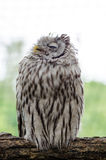 Tawny owl sleeping on the tree branch Stock Photo