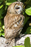 Tawny Owl. Sleepy tawny owl perched on branch of tree Stock Image