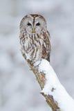 Tawny Owl, sneeuw behandelde vogel in sneeuwval tijdens de winter, aardhabitat, Noorwegen stock afbeeldingen