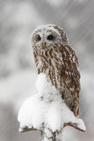 Tawny Owl snow covered in snowfall during winter. Tawny Owl snow covered in snowfall during royalty free stock images