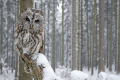 Tawny Owl snow covered in snowfall during winter, snowy forest in background, nature habitat. Norway royalty free stock photos