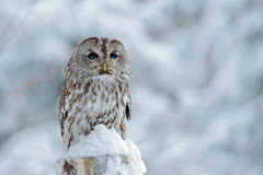 Tawny Owl snow covered in snowfall during winter, snowy forest in background, nature habitat. Wildlife scene from Slovakia. Cold w. Inter royalty free stock photos