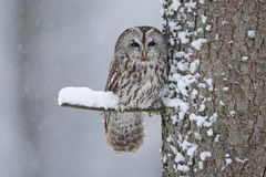Tawny Owl snow covered in snowfall during winter, tree trunk with snow. Sweden stock image