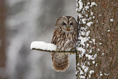 Tawny Owl snow covered in snowfall during winter, tree trunk with snow. Winter scene from forest. Cold season with owl. Wildlife s Stock Image