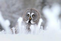 Tawny owl in snow. Tawny owl Strix nebulosa in winter stock photography