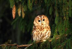 Tawny owl and spruce cones Royalty Free Stock Photos