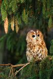 Tawny owl in spruce Royalty Free Stock Photography