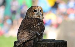 A tawny owl. Standing on a branch Royalty Free Stock Image