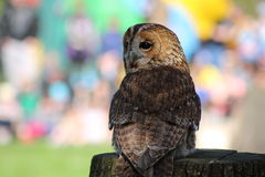 A tawny owl. Standing on a tree stump Stock Images
