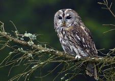 Tawny Owl (Strix aluco) royalty free stock photos