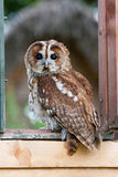 Tawny Owl (Strix aluco) Stock Photos