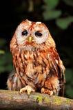 Tawny Owl (Strix aluco) Royalty Free Stock Photography