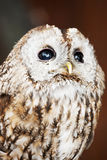 Tawny Owl (Strix aluco). Perched on the log stock photo