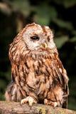 Tawny Owl (Strix aluco) Stock Image