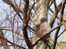 Tawny Owl Strix aluco Arkivfoton