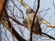 Tawny Owl Strix aluco Royaltyfri Bild