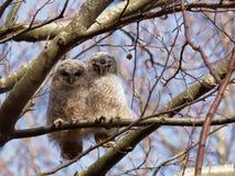 Tawny Owl Strix aluco Fotografering för Bildbyråer