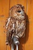 Tawny owl (Strix aluco). Tawny owl (Strix aluco), also known as the brown owl. Wild life animal royalty free stock photos