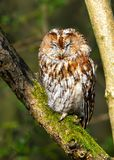 Tawny Owl - Strix aluco asleep in a woodland. A wild Tawny Owl - Strix aluco with rufous brown plumage asleep on a branch in a Worcestershire woodland on a warm royalty free stock image