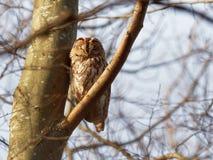 Tawny Owl  Strix Aluco Royalty Free Stock Images