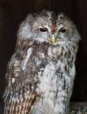 The Tawny owl (Strix aluco) Stock Photo