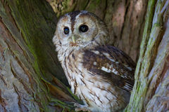 Tawny owl. Strix aluco, brown owl, perched in tree staring forward Royalty Free Stock Photography